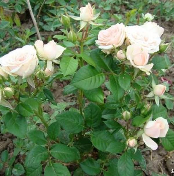 Роза-патио-цветок-Описание-особенности-и-уход-за-розой-патио-6