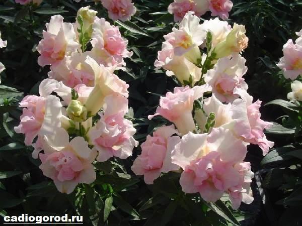 Антирринум-цветок-Описание-особенности-виды-и-уход-за-антирринумом-6