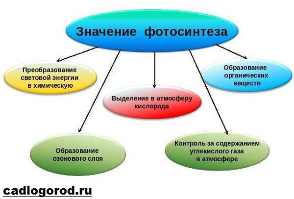 Что-такое-фотосинтез-Описание-особенности-фазы-и-значение-фотосинтеза-11