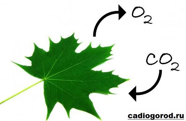 Что-такое-фотосинтез-Описание-особенности-фазы-и-значение-фотосинтеза-3