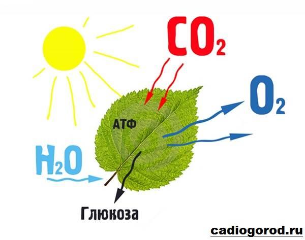 Что-такое-фотосинтез-Описание-особенности-фазы-и-значение-фотосинтеза-6