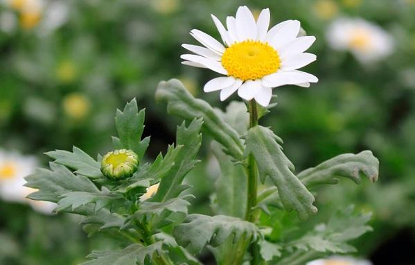 Нивяник-цветок-Описание-особенности-виды-и-уход-за-нивяником-28
