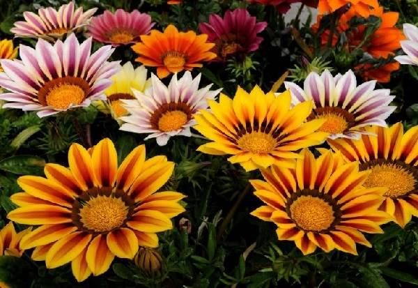 Диморфотека-цветок-Описание-особенности-виды-и-выращивание-диморфотеки-5