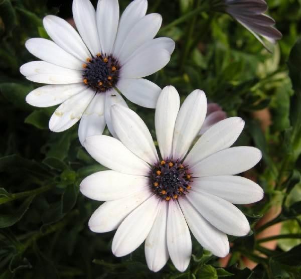 Диморфотека-цветок-Описание-особенности-виды-и-выращивание-диморфотеки-6