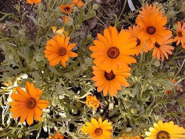 Диморфотека-цветок-Описание-особенности-виды-и-выращивание-диморфотеки-7