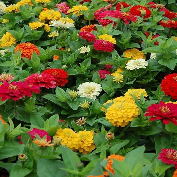 Диморфотека-цветок-Описание-особенности-виды-и-выращивание-диморфотеки-8