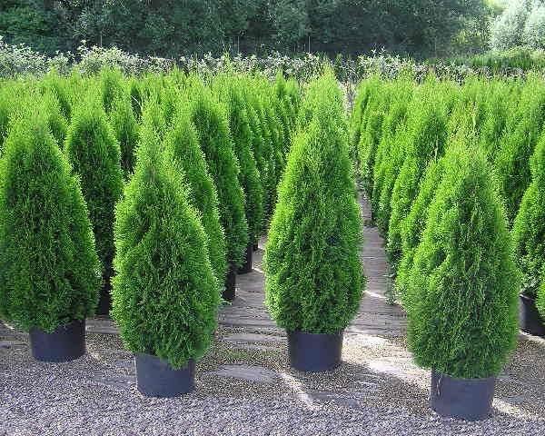 Туя-смарагд-дерево-Описание-особенности-посадка-и-уход-за-туей-смарагд-1
