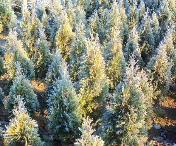 Туя-смарагд-дерево-Описание-особенности-посадка-и-уход-за-туей-смарагд-4
