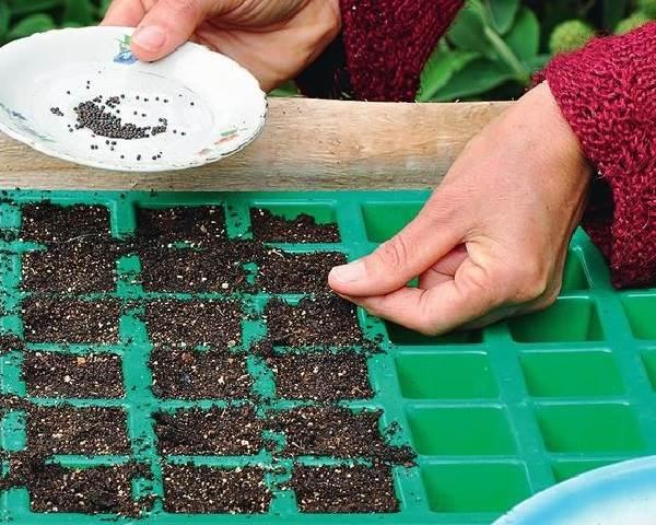 Капуста-кольраби-Описание-особенности-виды-и-выращивание-кольраби-14