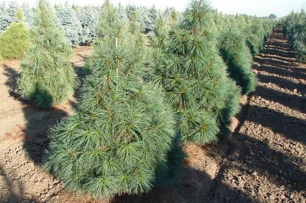 Сосна-гималайская-дерево-Описание-особенности-виды-посадка-и-уход-11