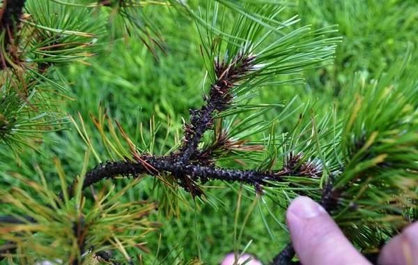 Сосна-гималайская-дерево-Описание-особенности-виды-посадка-и-уход-18