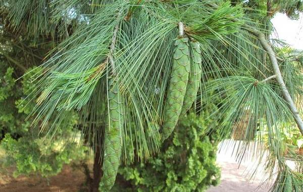 Сосна-гималайская-дерево-Описание-особенности-виды-посадка-и-уход-2