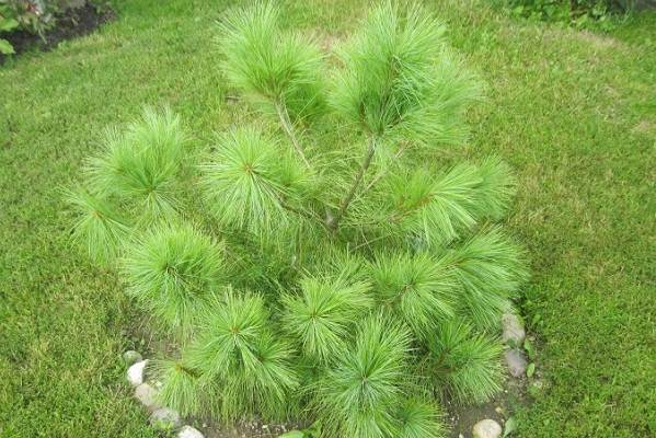 Сосна-гималайская-дерево-Описание-особенности-виды-посадка-и-уход-5