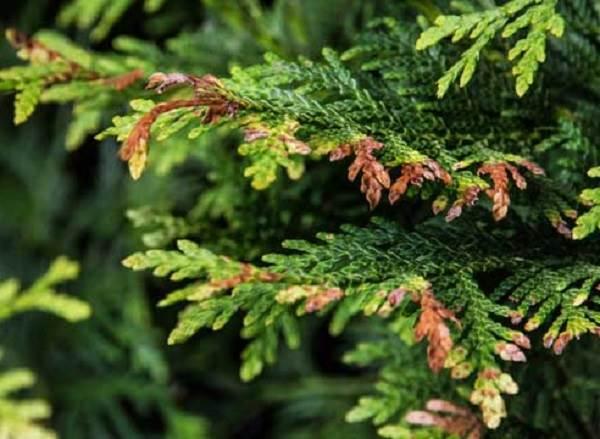 Туя-шаровидная-дерево-Описание-особенности-виды-посадка-и-уход-14