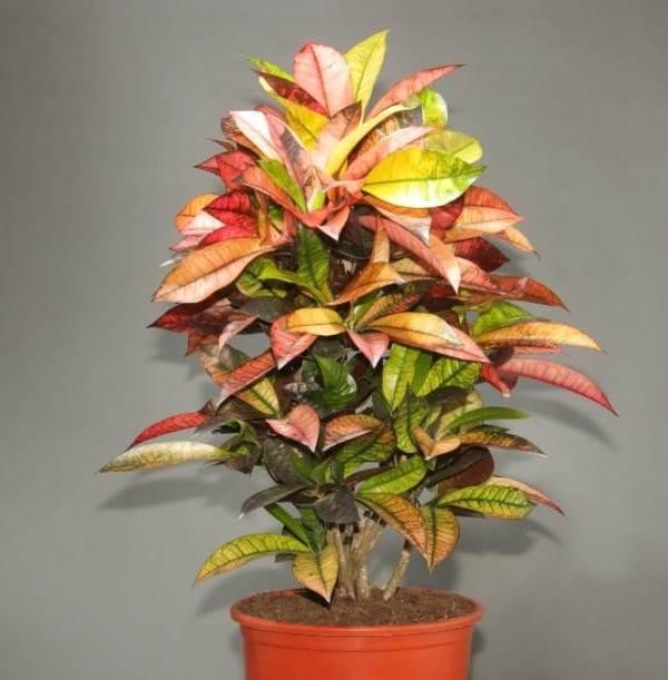 Кодиеум-цветок-Описание-особенности-виды-посадка-и-уход-за-кодиеумом-8