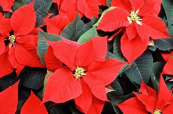 Пуансеттия-цветок-Описание-особенности-виды-и-выращивание-паунсеттии-1