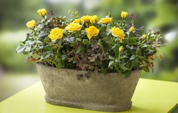 Роза-Кордана-цветок-Описание-особенности-виды-и-выращивание-розы-Кордана-13