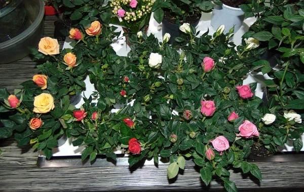 Роза-Кордана-цветок-Описание-особенности-виды-и-выращивание-розы-Кордана-15