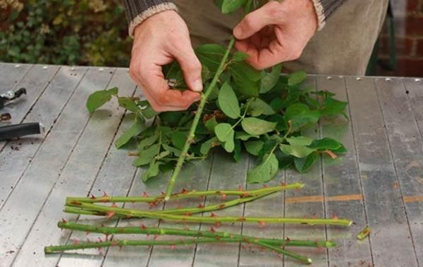Как-посадить-розу-из-букета-3