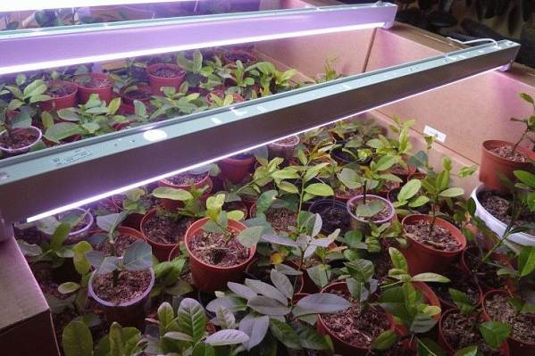 Фитолампа-для-растений-Как-выбрать-для-чего-нужна-и-сколько-стоит-фитолампа-2