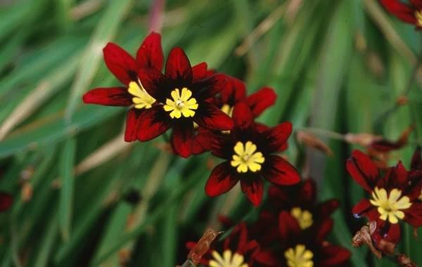 Спараксис-цветок-Описание-особенности-виды-посадка-и-уход-за-спараксисом-5