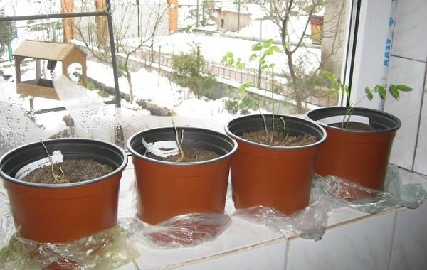 Глициния-растение-Описание-и-особенности-виды-и-сорта-как-и-где-сажать-глицинию-18