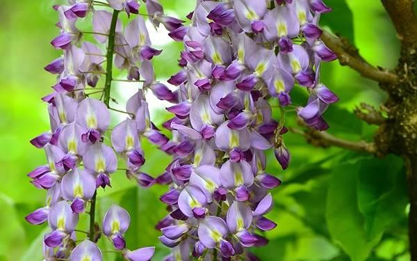 Глициния-растение-Описание-и-особенности-виды-и-сорта-как-и-где-сажать-глицинию-2