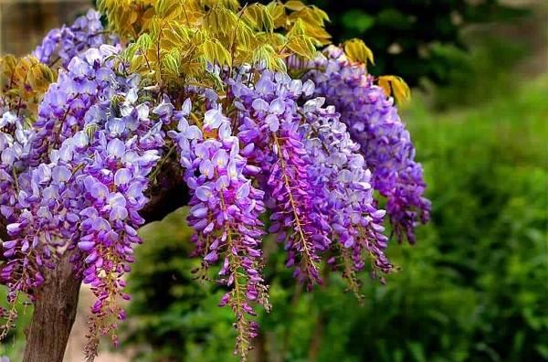 Глициния-растение-Описание-и-особенности-виды-и-сорта-как-и-где-сажать-глицинию-21