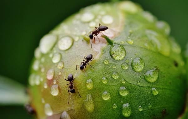 Муравьи-в-огороде-Польза-вред-и-как-бороться-с-муравьями-в-огороде-7