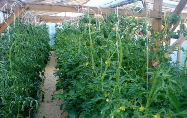Почему-в-теплице-не-опыляются-помидоры-Как-и-чем-опылять-помидоры-в-теплице-5