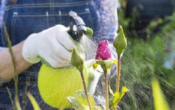 Тля-на-розах-Причины-появления-и-способы-борьбы-с-тлёй-на-розах-4