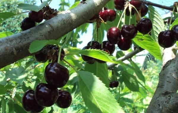 Черешня-растение-Описание-и-особенности-сорта-польза-и-вред-уход-и-выращивание-черешни-6
