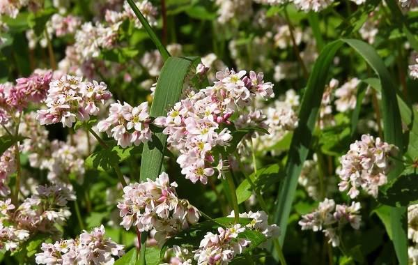 Гречиха-растение-Описание-особенности-виды-сорта-выращивание-и-свойства-гречихи-1