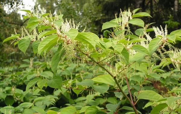 Гречиха-растение-Описание-особенности-виды-сорта-выращивание-и-свойства-гречихи-11