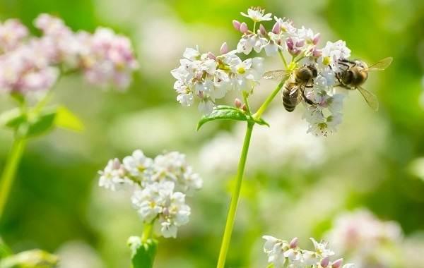 Гречиха-растение-Описание-особенности-виды-сорта-выращивание-и-свойства-гречихи-7