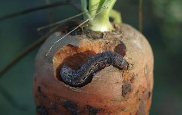 Гусеница-совки-вредитель-в-огороде-Как-выглядит-какой-вред-наносит-и-как-с-ней-бороться-9