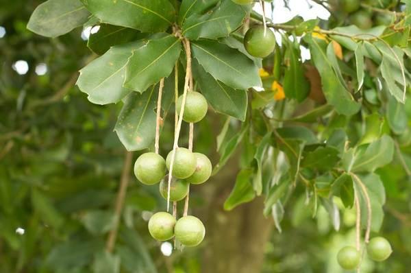 Макадамия-орех-из-Австралии-Свойства-польза-и-вред-происхождение-и-цена-макадамии-2