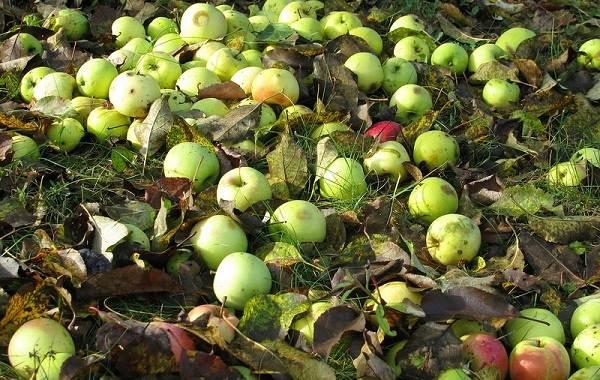 Почему-опадают-плоды-фруктовых-деревьев-и-что-делать-чтобы-спасти-урожай-8