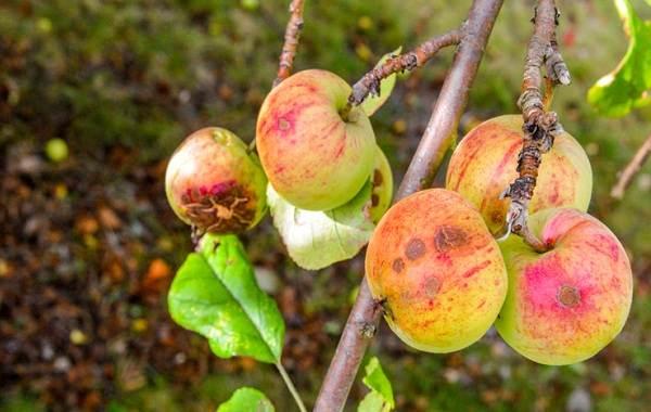 Почему-опадают-плоды-фруктовых-деревьев-и-что-делать-чтобы-спасти-урожай-9