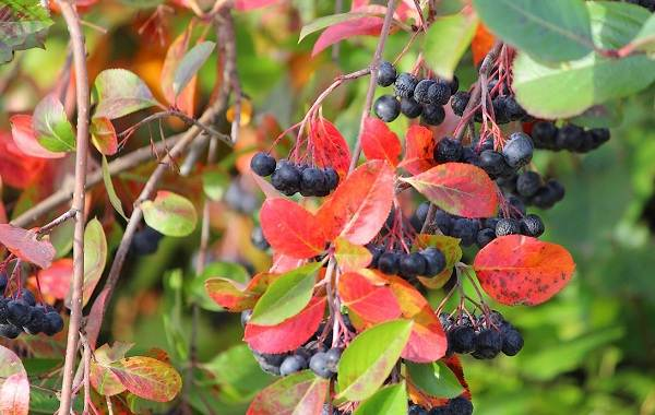 Арония-черноплодная-ягода-Описание-особенности-сорта-и-выращивание-аронии-2