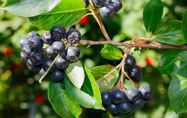 Арония-черноплодная-ягода-Описание-особенности-сорта-и-выращивание-аронии-3