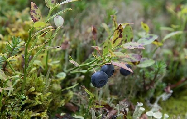 Черника-ягода-Описание-и-особенности-свойства-виды-и-сорта-уход-и-выращивание-черники-5