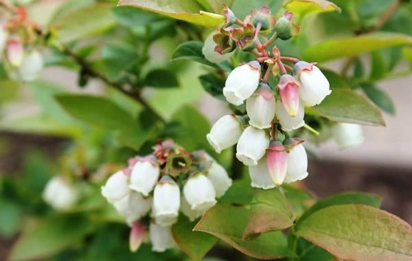 Голубика-ягода-Описание-особенности-полезные-свойства-и-выращивание-голубики-1