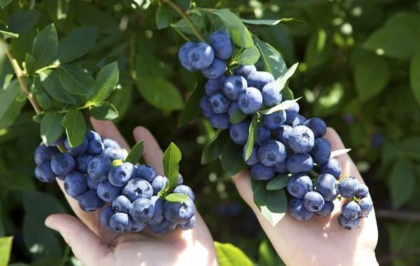 Голубика-ягода-Описание-особенности-полезные-свойства-и-выращивание-голубики-3
