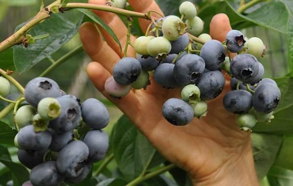 Голубика-ягода-Описание-особенности-полезные-свойства-и-выращивание-голубики-9