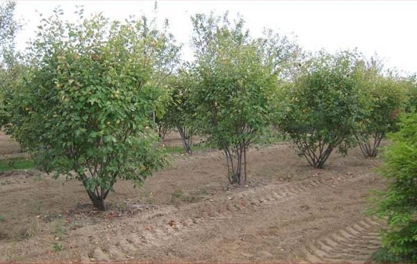 Ирга-ягода-Описание-особенности-сорта-свойства-и-выращивание-ирги-11