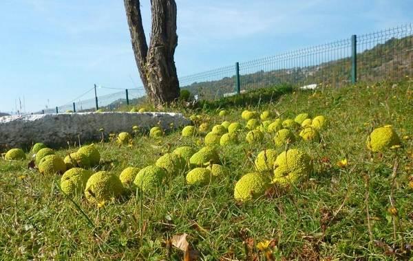 Маклюра-или-адамово-яблоко-Описание-особенности-свойства-и-рецепты-из-маклюры-10
