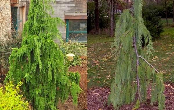 Кипарисовик-растение-Описание-и-особенности-виды-и-сорта-выращивание-и-уход-за-кипарисовиком-11
