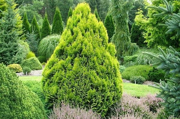 Кипарисовик-растение-Описание-и-особенности-виды-и-сорта-выращивание-и-уход-за-кипарисовиком-2