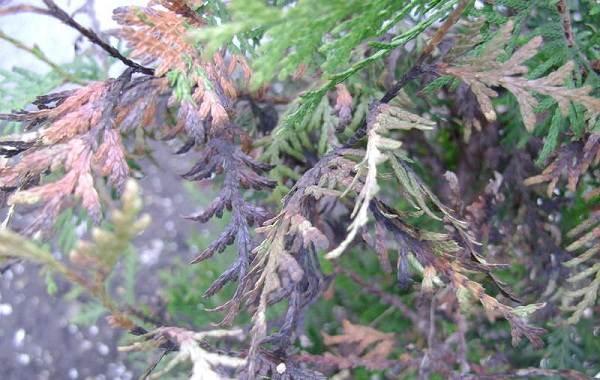 Кипарисовик-растение-Описание-и-особенности-виды-и-сорта-выращивание-и-уход-за-кипарисовиком-42